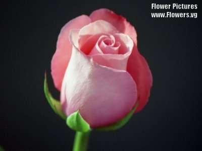 احلى صور ورد pinkroses01.jpg